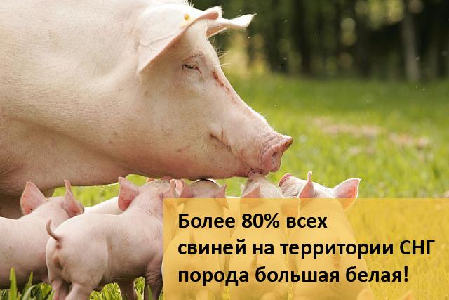 Разведение свиней как бизнес: большая белая